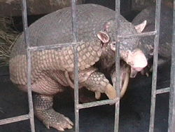 definition of giant armadillo