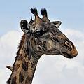 Girafe, portrait.jpg