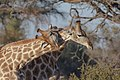 Giraffa cameleopardalis (28299674235).jpg