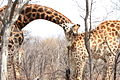 Giraffe - scent of a woman - at Borakalalo National Park, South Africa (10001257314).jpg