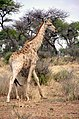 Giraffe auf Farm Grünental.jpg