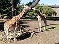 Giraffes at San Francisco Zoo .jpg