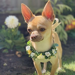 Pictured Gizmo standing in a flower garden with a custom made flower collar with white, yellow and light blue flowers