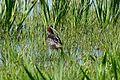 Glossy Ibis (Plegadis falcinellus) (26464521572).jpg