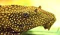 Glyptoperichthys joselimaianus L-001 a.jpg
