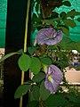 Gokarna flower 4.jpg