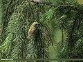 Goldcrest (Regulus regulus) (42715058745).jpg
