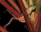 Golden-eyed tree frog (Agalychnis annae) 3.jpg
