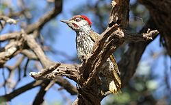 Golden-tailed Woodpecker - MALE, Campethera abingoni, at Borakalalo National Park, Northwest Province, South Africa (15416454899).jpg