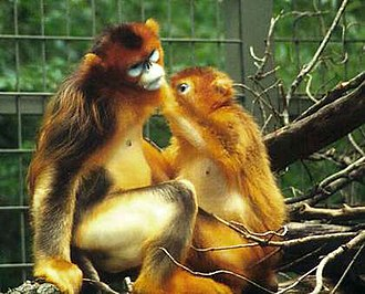 Wildlife of China - The snub-nosed monkey, another endangered and endemic species.