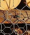 Goldwespe an einem Insektenhotel in Sachsen.jpg