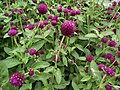 Gomphrena globosa from Lalbagh flower show Aug 2013 8114.JPG