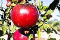 Granatäpple-0594 - Flickr - Ragnhild & Neil Crawford.jpg