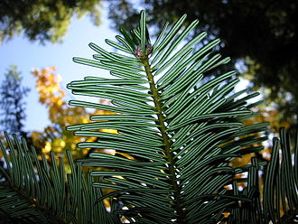 Cascades (ecoregion) - Image: Grand Fir 7591