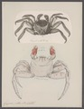 Grapsus pictus - - Print - Iconographia Zoologica - Special Collections University of Amsterdam - UBAINV0274 094 04 0003.tif