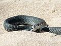 Grass Snake, Riga, Latvia 2.jpg