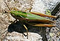 Grasshopper in Switzerland.jpg