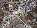 Grateley - Frosty Leaves - geograph.org.uk - 1137526.jpg