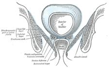 Canalis pudendalis na laterální stěně fossa ischioanalis