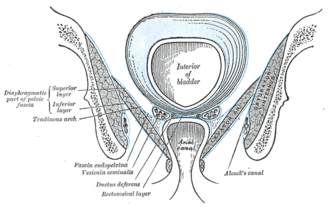 Pelvic fascia - Coronal section of pelvis, showing arrangement of fasciæ. Viewed from behind.