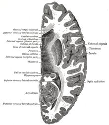 occipitallappen