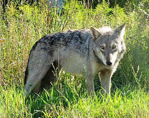 Gray Wolf Seney NWR 2.jpg
