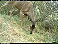 Grazing Deer (11425655134).jpg