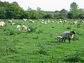Grazing sheep, Surlingham - geograph.org.uk - 169865.jpg