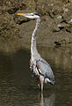 Great Blue Heron (Ardea herodias) at Richardson Bay, near Strawberry.jpg