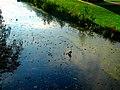 Great Blue Heron - panoramio (5).jpg