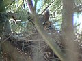 Great Horned Owl on nest. (5429550789).jpg