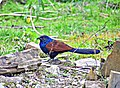Greater Coucal (Centropus sinensis), Raipur, Chhattisgarh.jpg