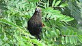Greater coucal 03.jpg
