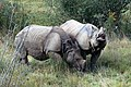 Greater one-horned rhinos (2916832319).jpg