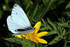 Green-veined white butterfly (Pieris napi) topside.JPG