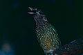 Green Catbird (Ailuroedus crassirostris) (9837087386).jpg