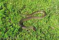 Green Water Snake, (Nerodia cyclopion) Florida.jpg