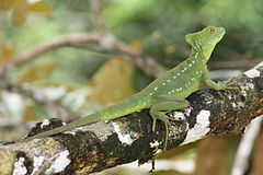 Green basilisk female.JPG