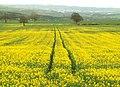 Green to Yellow - geograph.org.uk - 776481.jpg