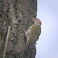 Green woodpecker (37172730666).jpg