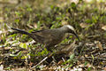 Grey-crowned Babbler - Mareeba Wetlands - Queensland S4E9179 (22399632461).jpg