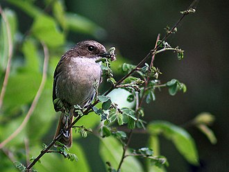 Grey bush chat - Image: Grey Bushchat (Female) Himachal I2 IMG 3246