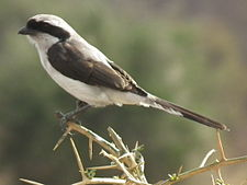 Grey backed fiscal in Tanzania 3207 cropped Nevit.jpg