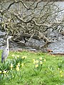 Grey heron and mandarin duck at The Long Water in Hyde Park - panoramio.jpg