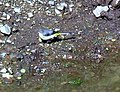 Grey wagtail 3 - geograph.org.uk - 434951.jpg