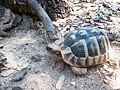 Griechische Landschildkröte (Testudo hermanni).jpg