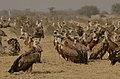 Griffon vultures gyps fulvus JEG4829.jpg