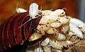 Gromphadorhina portentosa birth.jpg