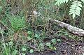 Grosses Torfmoor Wald NO.jpg