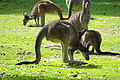 Group of Macropus fuliginosus Darling Range 05010.JPG